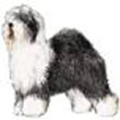 old_English_sheepdog.jpg
